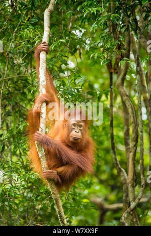 Junge bornesischen Orang-utan (Pongo pygmaeus) in Bäumen Tanjung Puting Nationalpark, Borneo-Kalimatan, Indonesien, gefährdete Arten. - Stockfoto