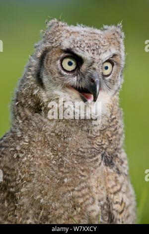 Great horned Owl (Bubo virginianus) Küken. In Gefangenschaft gezüchtet, Auftritt in Amerika. - Stockfoto