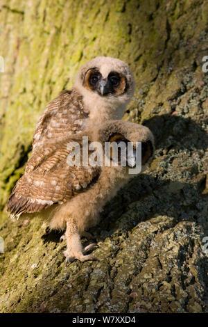 Braunes Holz Eule (Strix leptogrammica) Küken auf Baumstamm. In Gefangenschaft gezüchtet, tritt in Südasien. - Stockfoto