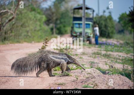 Nach riesigen ameisenbär (Myrmecophaga tridactyla) der Transpantaneira Autobahn überqueren. Nördlichen Pantanal, Moto Grosso, Brasilien, Südamerika. - Stockfoto