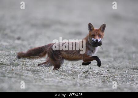 Red Fox (Vulpes vulpes) mit Vole, Vogesen, Frankreich, Juni. - Stockfoto