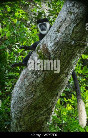 Guereza Colobus Affen (Colobus guereza) im Baum. Lango Bai, Republik Kongo (Brazzaville), Afrika. - Stockfoto