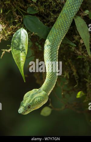 Wimpern Viper (Testudo schlegelii) Ecuador. Captive, tritt in Zentral- und Südamerika. - Stockfoto