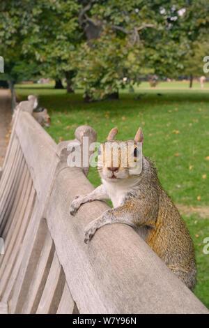 Graue Eichhörnchen (Sciurus carolinensis) auf der Rückseite der Parkbank klammert, mit einem anderen Essen Mutter im Hintergrund, St. James's Park, London, UK, September. - Stockfoto