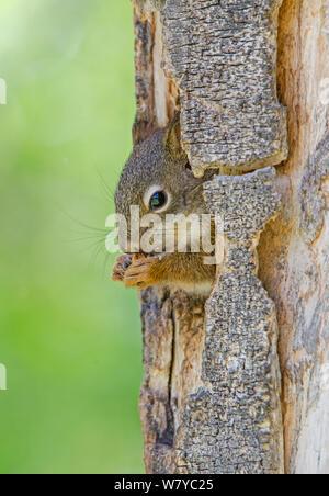 Amerikanische Rote Eichhörnchen (Tamiasciurus hudsonicus) Peering aus der Öffnung, der Fütterung, der Grand Teton National Park, Wyoming, USA, Juni. - Stockfoto