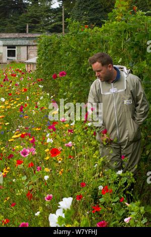Mitglied des Gwent Imker im Schutzanzug im Garten mit Stangenbohnen (Phaseolus Coccineus) mit Wildblumen entlang, Bienen, Llantarnam Abtei Cwmbran Gwent, Wales, UK zu gewinnen. September 2014. - Stockfoto
