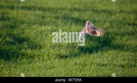 Short eared owl (Asio Flammeus) Tauchen für Beute, Myvatn, Island, Juni - Stockfoto