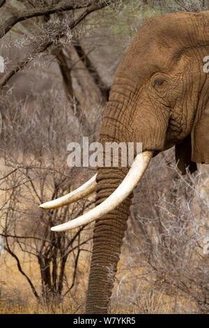 Afrikanischer Elefant (Loxodonta africana) männlich, Samburu National Reserve, Kenia. - Stockfoto