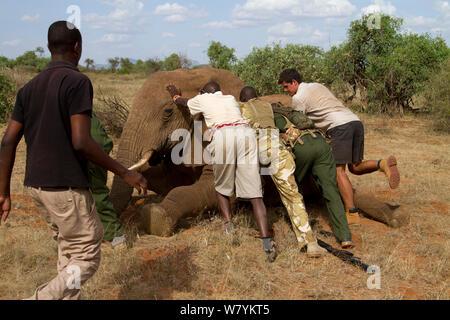 Dr Rono Bernard, Kenya Wildlife Service Tierarzt und speichern Sie die Elefanten Team, versuchend, Afrikanischer Elefant (Loxodonta africana) mit der Wunde in Ihrer Seite. Samburu National Reserve, Kenia. Model Released. Mit der Zusammenarbeit des Kenya Wildlife Service, und speichern Sie die Elefanten genommen - Stockfoto