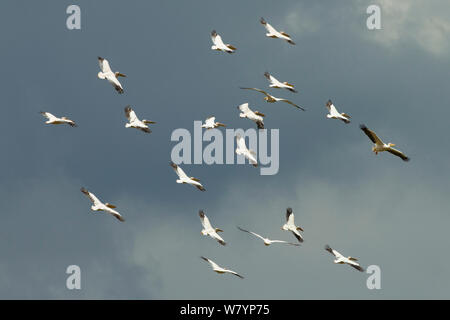 Great White Pelican (Pelecanus onocrotalus) Herde fliegen, Lake Nakuru, Samburu Game Reserve, Kenia, Afrika, November. - Stockfoto