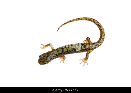 Grüne salamander (Aneides aeneus) Tishomingo State Park, Florida, USA, April. Meetyourneighbors.net Projekt - Stockfoto