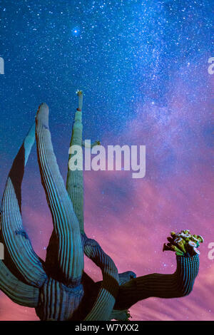 Saguaro Kaktus (Carnegiea gigantea) blühen in der Nacht, mit der Milchstraße hinter, Sonoran Desert National Monument, Sierra Estrella Mountain Wilderness, Arizona, USA, Mai. - Stockfoto