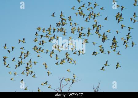 Herde von Wellensittichen (Melopsittacus undulatus) im Flug, Northern Territory, Australien. - Stockfoto