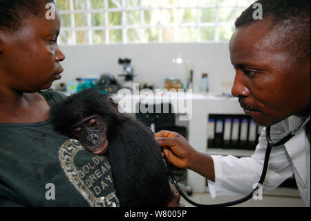Vet Prüfung orphan Bonobo (Pan paniscus) Lola Ya Bonobo Heiligtum, der Demokratischen Republik Kongo. - Stockfoto