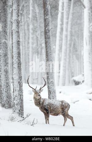 Rothirsch (Cervus Elaphus) Hirsch im Schnee, Schottland, März - Stockfoto