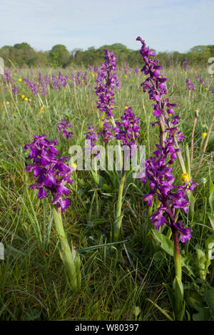 Green-winged Orchideen (Anacamptis Morio) Blüte in der Wiese, Ashton, North Somerset, UK, Mai. - Stockfoto