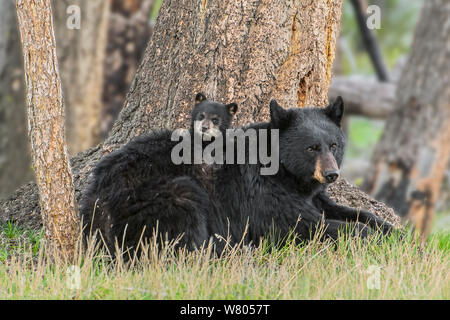 Black Bear (Ursus americanus) Mutter mit Jungtier. Yellowstone National Park, Wyoming, USA, Mai. - Stockfoto