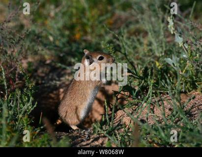 Mongolische Wüstenrennmaus (Meriones unguiculatus) in ihrem natürlichen Lebensraum, dem nördlichen Ausläufer der Wüste Gobi, Mongolei, August. Diese Art ist in der Regel als Haustier gehalten. Stockfoto