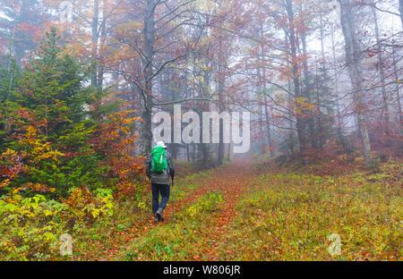 Mann zu Fuß durch die Buche (Fagus sylvatica) Wald im Herbst, Ilirska Bistrica, Grüner Karst, Slowenien, Oktober 2014. - Stockfoto