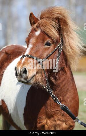Schöne skewbald Shetland pony alleine stehen im Außenbereich - Stockfoto
