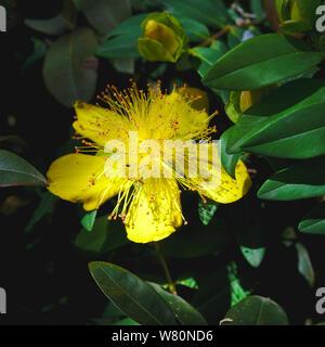Johanniskraut hat große gelbe Blume; Hypericum calycinum, hypericaceae - Stockfoto