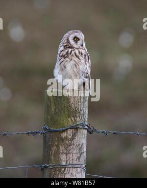 Short Eared Owl Asio flammeus saß auf einem hölzernen Pfosten in den Pennine uplands im Frühjahr. - Stockfoto