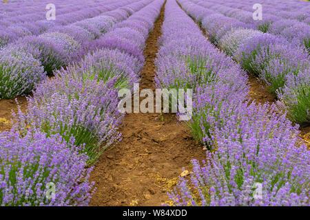 Bild der schönen lila Lavendel Feld in einem Sommertag - Stockfoto