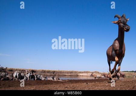 Topi (Damaliscus lunatus jimela), Eastern White-bärtigen Gnus (connochaetes Taurinus) und Gemeinsame oder Ebenen Zebra (Equus quagga burchellii) Gemischte Herde der Mara River Crossing. Masai Mara National Reserve, Kenia. Mit remote Weitwinkel Kamera genommen. - Stockfoto