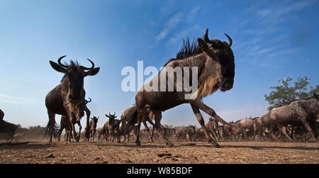 Eastern White-bärtigen Gnus (connochaetes Taurinus) Herde läuft. Masai Mara National Reserve, Kenia. Mit remote Weitwinkel Kamera genommen. - Stockfoto