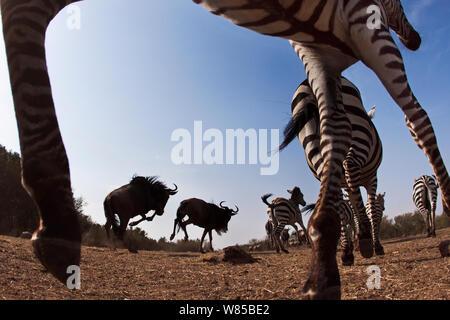 Gemeinsame oder Ebenen Zebra (Equus quagga burchelli) und östlichen weißen bärtigen Gnus (connochaetes Taurinus) Gemischte Herde läuft. Masai Mara National Reserve, Kenia. Mit remote Weitwinkel Kamera genommen. - Stockfoto