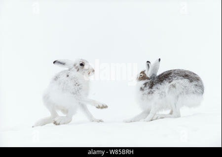 Schneehasen (Lepus timidus) Boxing, Vauldalen, Sor-Trondelag, Norwegen, Mai. - Stockfoto