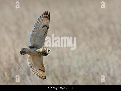 Short eared owl (Asio Flammeus) im Flug, Uto, Finnland, Mai. - Stockfoto