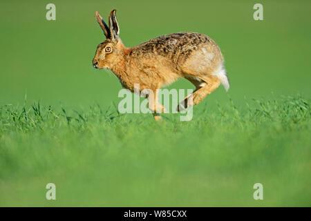 Feldhase (Lepus europaeus) läuft, Norfolk, England, UK, Mai. - Stockfoto