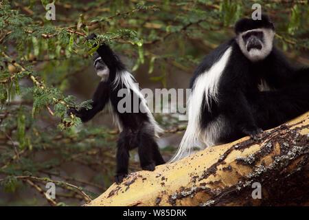 Östlichen schwarz-weißen Guerezas (Colobus guereza) Weibliche mit verspielten Babys im Alter von 6-9 Monaten sitzen auf dem Baum (Acacia xanthophloea). , Elsamere Lake Naivasha, Rift Valley Provinz, Kenia - Stockfoto