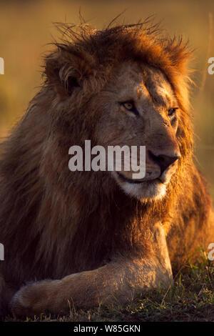 Löwe (Panthera leo) männliche Portrait im Morgenlicht. Masai Mara National Reserve, Kenia. - Stockfoto