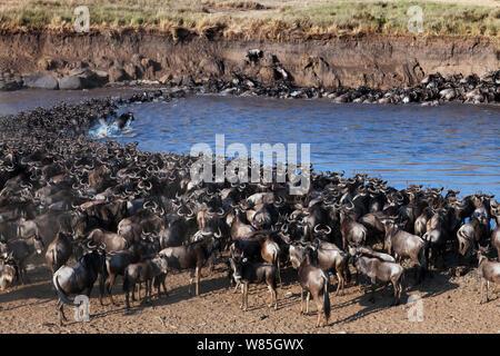 Östlichen weißen bärtigen Gnus (Connochaetes Taurinus) Herde Überquerung des Mara Flusses. Masai Mara National Reserve, Kenia. - Stockfoto
