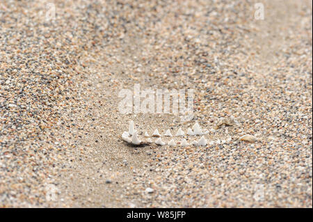 Knochen von black-backed Jackal (Canis mesomelas), Sperrgebiet Nationalpark, Namibia, November. - Stockfoto