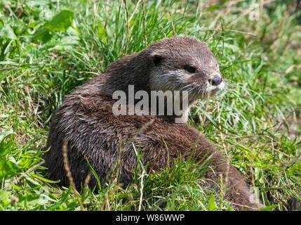 Asiatische kurze Krallen Otter, (Aonyx cinereal) Auch die Asiatischen kleinen Krallen Otter bekannt ist, ist der kleinste Otter Spezies in der Welt - Stockfoto