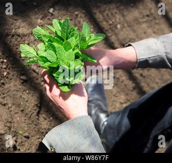 Koch Holding Bund Minze Blätter nach der Ernte frisch von der Pflanze in einem kommerziellen Gewächshaus - Stockfoto