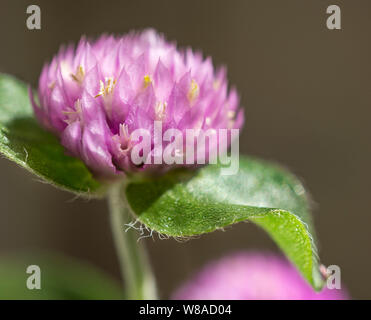 Globe Amaranth - Stockfoto