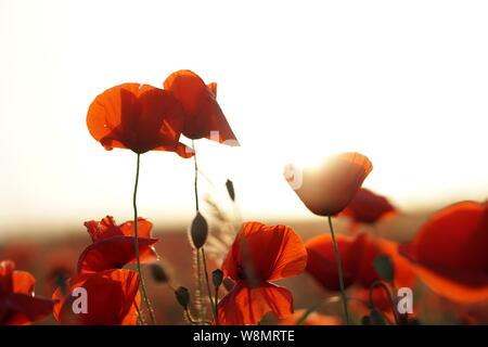 Red Poppy field gegen das Licht - Stockfoto