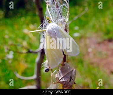 Eine weiße satin Motte Leucoma salicis, eine destruktive Motten, die sich im pazifischen Nordwesten. Raupen fressen die Blätter von Pappeln, Aspen, Weide, ein - Stockfoto
