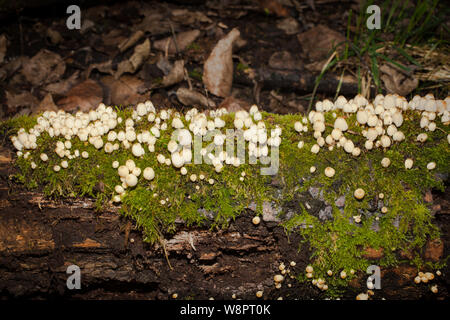 Mitte winter Pilze: Neuseeland. Märchen (Inkcap Coprinellus Disseminatus) - Stockfoto