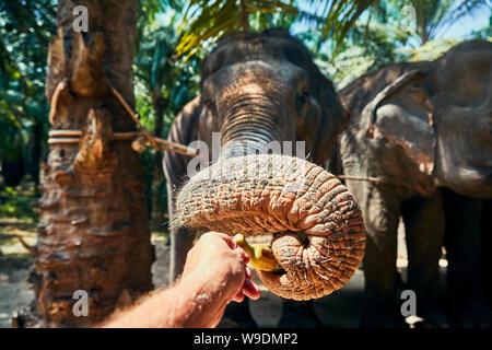 Nahaufnahme von einem Mann Fütterung Banane zu einer Gruppe von Asiatischen Elefanten in ein Tierheim in Thailand - Stockfoto