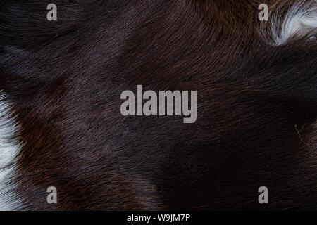 Textur von Braun Kuh haut Mantel mit Fell schwarz weiße und braune Flecken - Stockfoto
