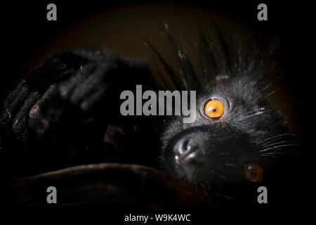 Schwarz Lemur (Eulemur macaco), einer gefährdeten Status jungen männlichen Lemuren von Madagaskar, Afrika, in Frankreich, Europa - Stockfoto