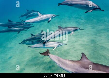 Hawaiian Spinner Delfine (Stenella longirostris), AuAu Kanal, Maui, Hawaii, Vereinigte Staaten von Amerika, Pazifik - Stockfoto