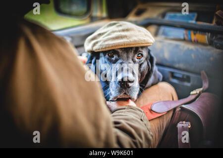 Jagdhund mit Dreharbeiten Kappe, Buckinghamshire, England, Vereinigtes Königreich, Europa - Stockfoto