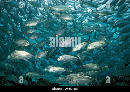 Bigeye Trevally (Caranx Sexfasciatus) Schulbildung (Buchsen), der Insel Sipadan, Celebes-See, Sabah, Malaysia, Südostasien, Asien - Stockfoto
