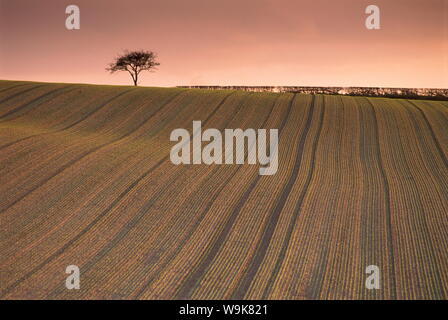Einsamer Baum in Frosted gepflügten Feldes, Farnsfield, Nottinghamshire, England, Vereinigtes Königreich, Europa - Stockfoto